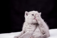 Beautiful British cat lilac Colors Stock Photo