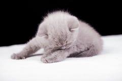 Beautiful British cat lilac Colors Stock Images
