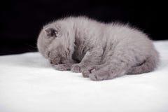 Beautiful British cat lilac Colors Stock Image