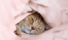 Beautiful British cat peeping from under blankets. Portrait of beautiful British cat Peeper from under rumpled  pale pink blanket Stock Photo