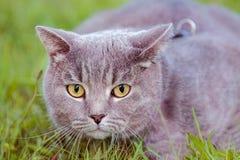 Beautiful British cat portrait. Macro royalty free stock photography