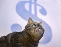 Beautiful British cat tries to catch Dolar concept of success, business strategy Royalty Free Stock Images