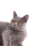 Beautiful British cat with yellow eyes Royalty Free Stock Images