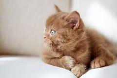 Beautiful british cinnamon color kitten Stock Photo