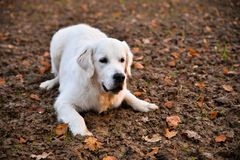 Golden Retriever staying on a field in autumn Royalty Free Stock Photo