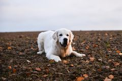 Golden Retriever staying on a field in autumn Royalty Free Stock Photos