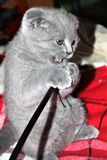 Beautiful british gray kitten plays with a stick. royalty free stock photo