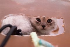 Beautiful British gray white kitten is lying in a cardboard box and looking at the camera through the oval hole. Beautiful British gray white kitten with blue Royalty Free Stock Photos