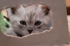 Beautiful British gray white kitten is lying in a cardboard box and looking at the camera through the oval hole. Beautiful British gray white kitten with blue Royalty Free Stock Image