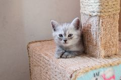 Beautiful British gray white kitten lying on cat house and looking at the camera. Cute striped british kitten lying on the cat house with hello kitty Stock Photo