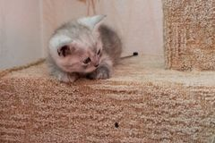 Beautiful British gray white kitten lying on cat house and looking down. Cute striped british kitten with blue eyes lying on the cat house looking down Royalty Free Stock Image