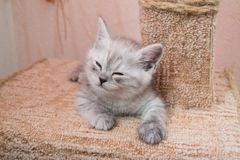 Beautiful British gray white kitten lying on cat house and smiling. Cute white gray striped british kitten lying on the cat house Royalty Free Stock Photography