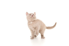 Beautiful british kitten Stock Photo