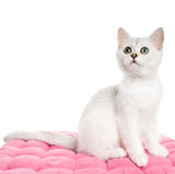 Beautiful british kitten Royalty Free Stock Photos