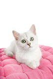 Beautiful british kitten Royalty Free Stock Photography