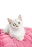 Beautiful british kitten Royalty Free Stock Photography