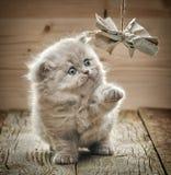 Beautiful british long hair kitten Royalty Free Stock Image