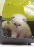 Beautiful British lop-eared kitten Stock Photos