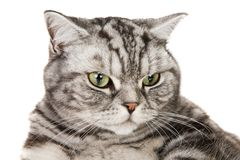 Beautiful british shorthair cat Stock Image