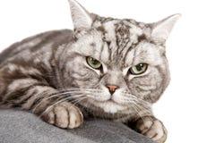 Beautiful british shorthair cat Stock Photography