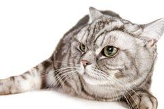Beautiful british shorthair cat Stock Photo