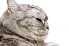 Beautiful british shorthair cat Royalty Free Stock Image