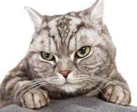 Beautiful british shorthair cat Royalty Free Stock Photos
