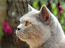 Beautiful british shorthair cat Royalty Free Stock Photography