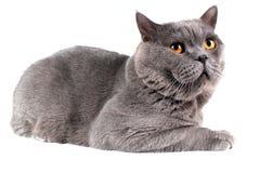 Beautiful British shorthair cat Royalty Free Stock Images
