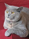 Beautiful british shorthair cat relaxing. Photo of lovely pedigree british shorthair cat blue cream breed with gorgeous orange eyes relaxing on arm of chair Stock Photo