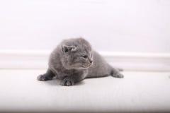 Beautiful British Shorthair kitten Royalty Free Stock Images