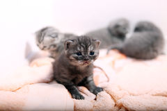 Beautiful British Shorthair kitten Stock Images