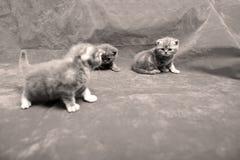 Beautiful British Shorthair kittens Royalty Free Stock Photo
