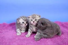 Beautiful British Shorthair kittens Royalty Free Stock Photos