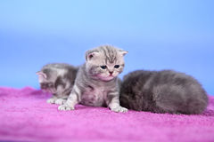 Beautiful British Shorthair kittens Royalty Free Stock Photography