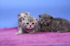 Beautiful British Shorthair kittens Stock Images