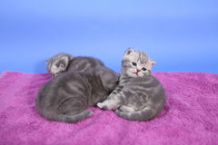 Beautiful British Shorthair kittens Royalty Free Stock Images