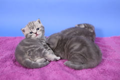 Beautiful British Shorthair kittens Stock Photography