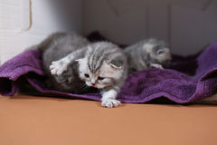 Beautiful British Shorthair kittens Royalty Free Stock Photos