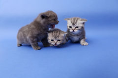 Beautiful British Shorthair kittens Stock Image