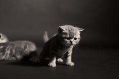 Beautiful British Shorthair kittens Stock Image