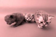 Beautiful British Shorthair kittens Stock Photos