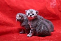 Beautiful British Shorthair kittens Stock Photo