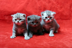 Beautiful British Shorthair kittens Stock Photo