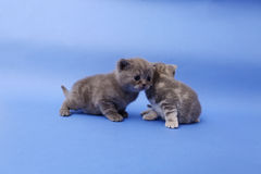 Beautiful British Shorthair kittens Stock Images