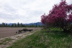 Beautiful Crab Apple Tree - Montana. A beautiful, broken down old crab apple tree is in full bloom in Montana`s Bitterroot Valley, near Hamilton royalty free stock photo