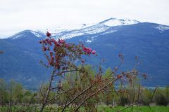 Beautiful Crab Apple Tree - Montana. A beautiful, broken down old crab apple tree is in full bloom in Montana`s Bitterroot Valley, near Hamilton. The Bitterroot royalty free stock image