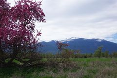 Beautiful Crab Apple Tree - Montana. A beautiful, broken down old crab apple tree is in full bloom in Montana`s Bitterroot Valley, near Hamilton. The Bitterroot stock photography