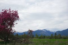 Beautiful Crab Apple Tree - Montana. A beautiful, broken down old crab apple tree is in full bloom in Montana`s Bitterroot Valley, near Hamilton. The Bitterroot royalty free stock images