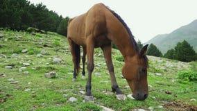Beautiful brown arabian horse grazing on high mountain. Beautiful brown arabian horse grazing on high Pyrenees mountain stock footage